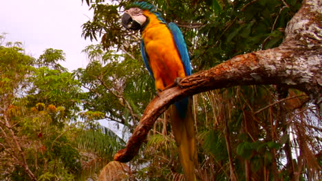 A-parrot-sits-in-a-tree-in-the-rainforest