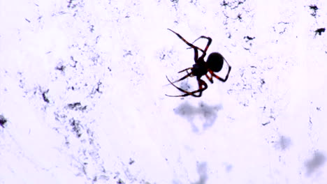 A-black-widow-spider-in-its-web