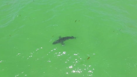 Aerial-Over-A-Great-White-Shark-Swimming-Offshore-Along-The-California-Coast