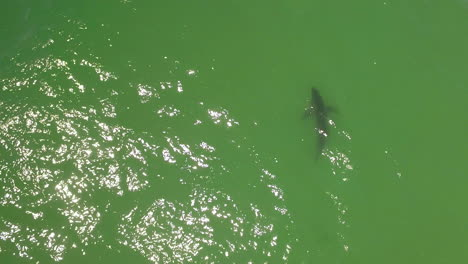 Aerial-Over-A-Great-White-Shark-Swimming-Offshore-Along-The-California-Coast-1