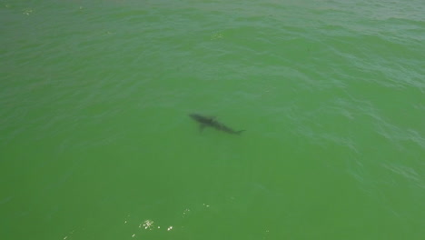 An-Aerial-Over-A-California-Beach-With-A-Great-White-Shark-Swimming-Offshore-2