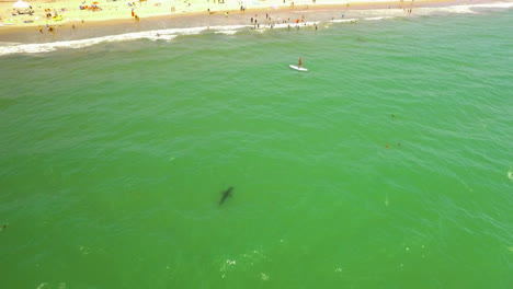An-Aerial-Over-A-California-Beach-With-A-Great-White-Shark-Swimming-Offshore-3