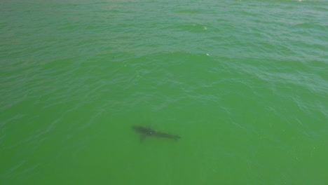 An-Aerial-Over-A-California-Beach-With-A-Great-White-Shark-Swimming-Offshore-4