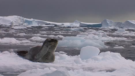 An-elephant-seal-lies-on-a-receding-glacier-in-Antarctica