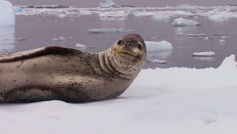 An-elephant-seal-lies-on-a-receding-glacier-in-Antarctica-1
