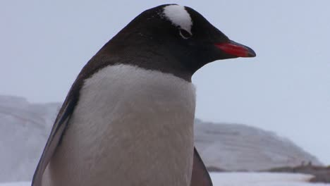 Baby-penguins-are-sheltered-by-their-mother-in-Antarctica