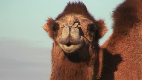 A-camel-looks-at-the-camera-along-the-Silk-Road