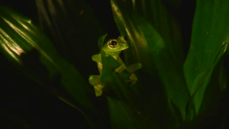 A-green-tree-frog-sits-in-the-rainforest-at-night