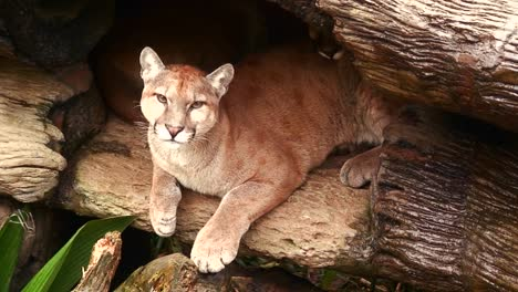 A-puma-or-mountain-lion-in-his-den-in-Costa-Rica