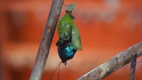 A-butterfly-emerges-from-its-chrysalis