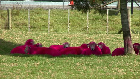 Sheep-painted-pink-or-red-rest-under-a-tree-on-a-New-Zealand-ranch