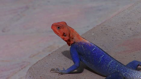 A-beautiful-red-and-blue-lizard-sits-on-a-rock-in-Africa