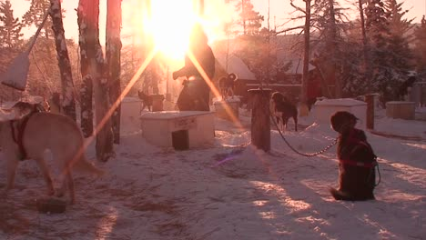 Early-morning-in-the-Arctic-with-sled-dogs-and-huskies-ready-to-work