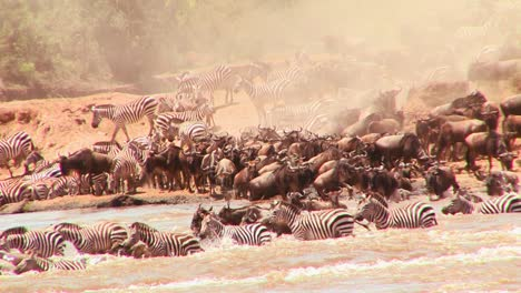 Wildebeest-cross-a-river-during-a-migration-in-Africa-1