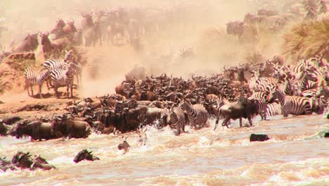 Wildebeest-cross-a-river-during-a-migration-in-Africa-2
