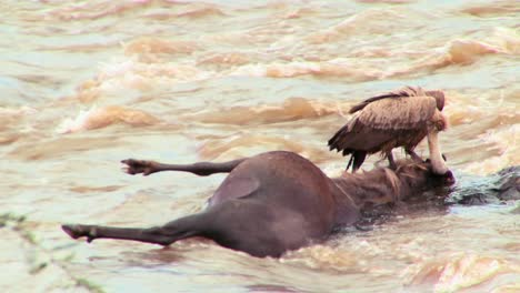 A-vulture-sits-on-a-rotting-corpse-of-a-wildebeest-in-a-river-in-Africa