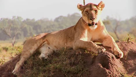 A-beautiful-lion-poses-on-a-rock-in-Africa