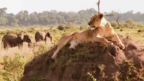 A-beautiful-lion-poses-on-a-rock-in-Africa-1