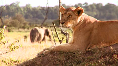 A-beautiful-lion-poses-on-a-rock-in-Africa-2