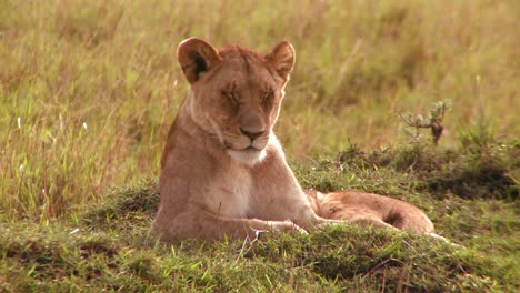 A-beautiful-lion-lies-in-the-grass-in-Africa