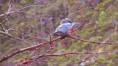 A-redbreasted-bird-perches-on-a-branch-in-a-forest