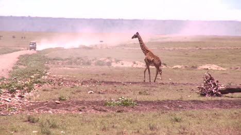 A-giraffe-crosses-a-golden-savannah-in-Africa-with-a-safari-vehicle-background