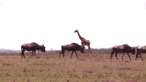 A-giraffe-crosses-a-golden-savannah-in-Africa-with-wildebeest-in-foreground