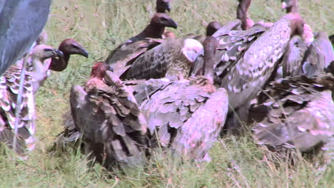 A-flock-of-vultures-rest-after-feasting-on-a-carcass