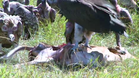 A-flock-of-vultures-rest-after-feasting-on-a-carcass-1