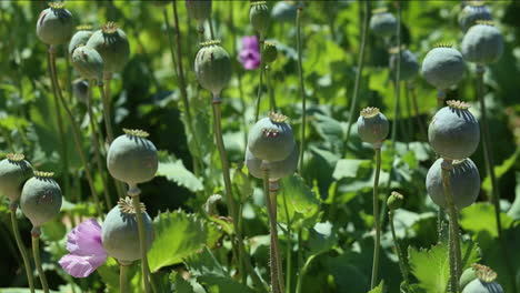 Low-angle-of-opium-poppy-flowers-against-the-sky-1