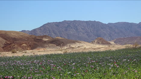 Wide-shot-of-opium-poppy-fields-in-a-Middle-Eastern-environment
