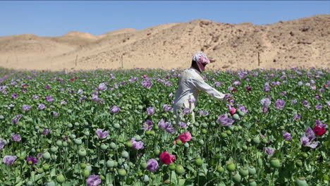 An-Arab-man-stands-in-opium-fields-during-harvest-season-2