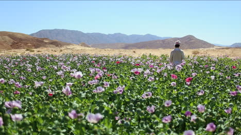 An-Arab-man-stands-in-opium-fields-during-harvest-season-4