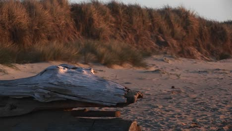 A-Closeup-Of-Driftwood-Shaped-Like-A-Fossilized-Reptile-With-Beady-Eyes-Guarding-The-Beach-In-The-Goldenhour