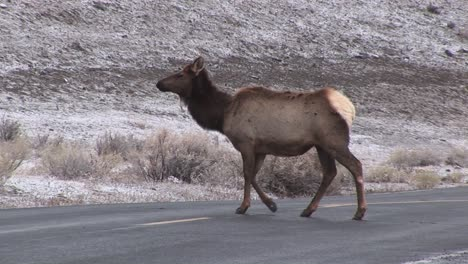 Camera-Follows-Two-Female-Elk-As-They-Cross-The-Road-To-Forage-For-Food-Ignoring-An-Approaching-Car