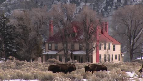 Bison-Graze-Near-A-Picturesque-Homestead-On-The-Prairie-In-Winter