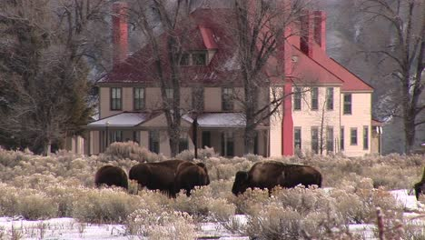 Bison-Are-Grazing-On-The-Winter-Prairie-In-Front-Of-An-Impressive-Homestead
