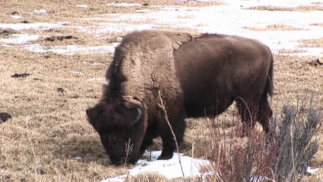 A-Grazing-Bison-With-Its-Shaggy-Molting-Coat-Pokes-Through-Dead-Grass-For-Spring-S-Tender-New-Shoots
