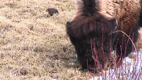 This-Closeup-Shows-A-Bison-Searching-For-Tender-New-Shoots-Under-A-Layer-Of-Dead-Grasses