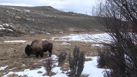 A-Lone-Bison-Searches-For-Food-In-Early-Spring