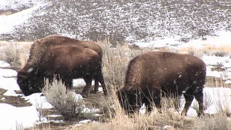 A-Herd-Of-Bison-Graze-Hungrily-During-A-Light-Snow-On-The-Prairie