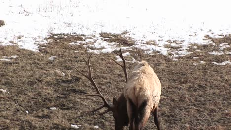 A-Wary-Male-Elk-With-An-Enormous-Rack-Gives-The-Camera-A-Backwards-Look-And-Resumes-Grazing