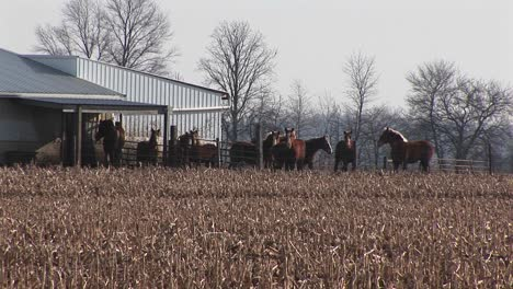 Horses-Are-Corralled-Together-Outside-Near-A-Barn