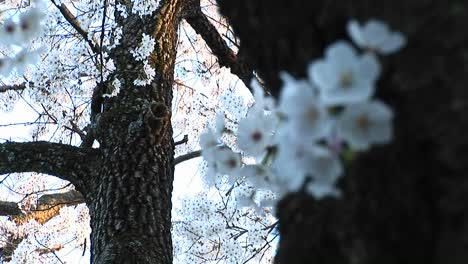 A-Closeup-Look-At-A-Spray-Of-Dogwood-Blossoms-Wrapped-Around-Trunk-Of-The-Tree