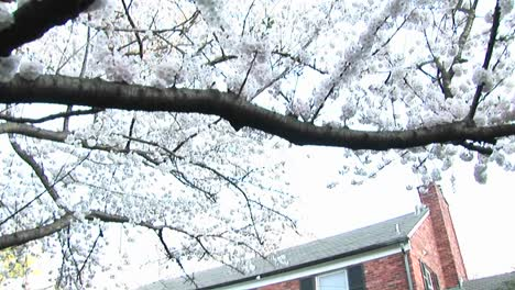 The-Camera-Pans-Down-A-Flowering-Dogwood-Tree-To-Focus-On-A-Red-Brick-Colonial-Home-In-Background