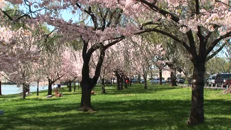 Cherry-Blossoms-Fill-This-Park-In-Washington-Dc-With-Beauty