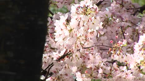 A-Wind-Gently-Moves-A-Branch-Full-Of-Pink-Cherry-Blossoms