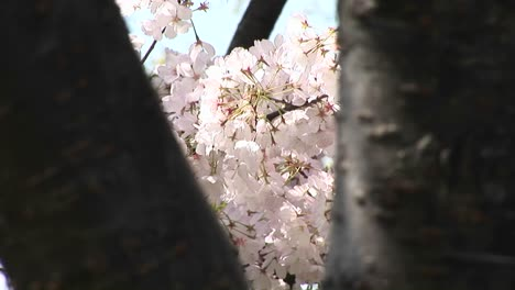 The-Camera-Pans-Across-A-Tree-Filled-With-Waving-Cherry-Blossoms