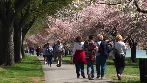 Tourists-Walk-Down-A-Path-Lined-With-Cherry-Blossoms-In-Washington-Dc