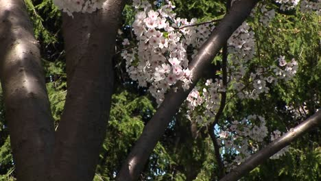 The-Camera-Slowly-Pans-Up-A-Tree-With-Beautiful-Cherry-Blossoms-In-Full-Bloom